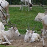 Addax at Berlin Zoo