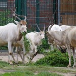 Addax at Berlin Zoo