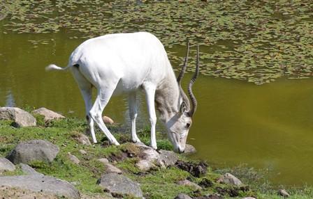 Även om de sällan behöver dricka vatten i det vilda så är det ingen ovanlig syn i djurparken. Vattnet är ju helt enkelt tillgängligt på ett annat sätt och dessutom är vanligtvis djurparksfodret för torrt för att det ska ge addaxen det vatten den behöver.