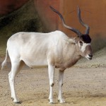 Addax at Hannover Zoo