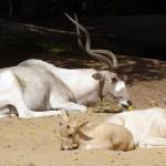 Addax at Hannover Zoo