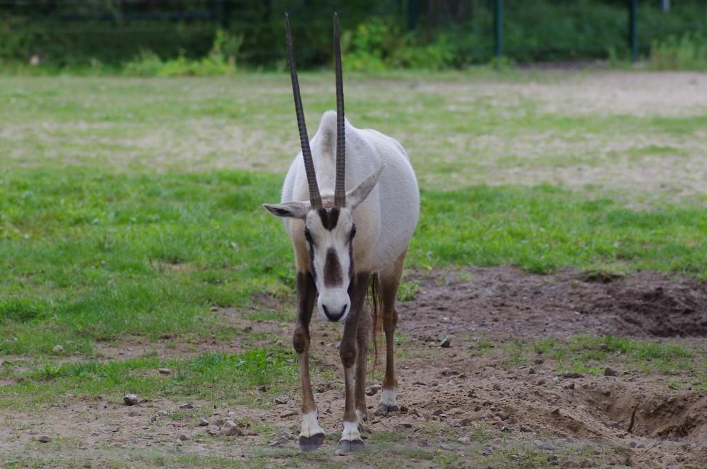 Arabis oryx