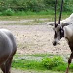 Arabisk oryx
