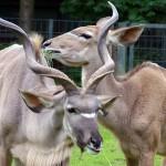 Större kudu